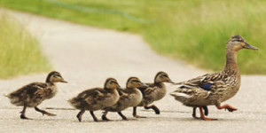 Mumma duck leading the family. Nikon D1x file